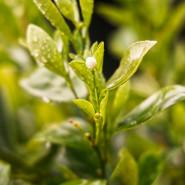 Fragrance Thé vert