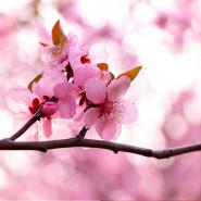 Fragrance Fleur de pêcher - Sans allergène