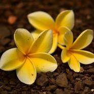 Fragrance Fleur de Tiaré