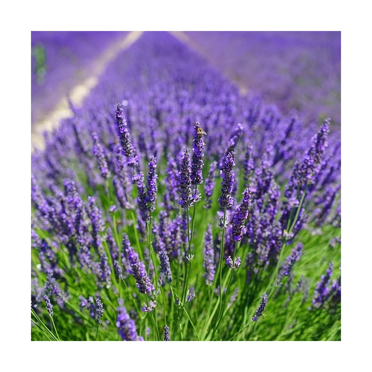 Fragrance Brin de lavande - Sans allergène