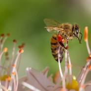 Fragrance Comme une abeille